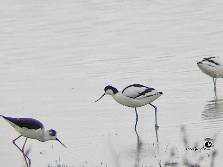 ecoquijote-ecoturismo-cuenca-laguna-de-el-hito-birding-ciguenuela-avoceta