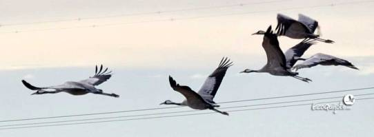 ecoquijote-ecoturismo-cuenca-laguna-de-el-hito-birding-grullas-en-vuelo