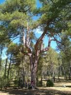 Pino centenario El Candelabro en Torcas de Palancares y Lagunas de Cañada del Hoyo